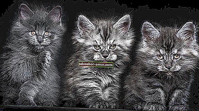 12 величествени портрета на митична и рядка котка: Мейн Кун.