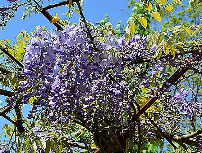 18 najboljih biljaka za penjanje koje rastu na pergoli.