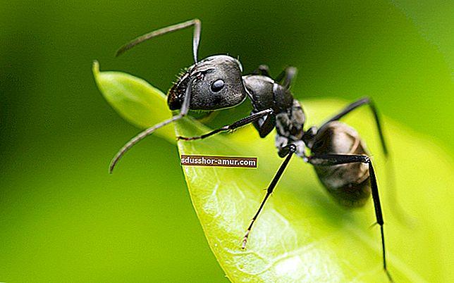 Prirodno sredstvo protiv mrava: talog kave.
