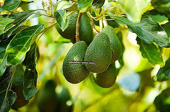 Ето как се отглежда дърво от авокадо от ядро от авокадо.