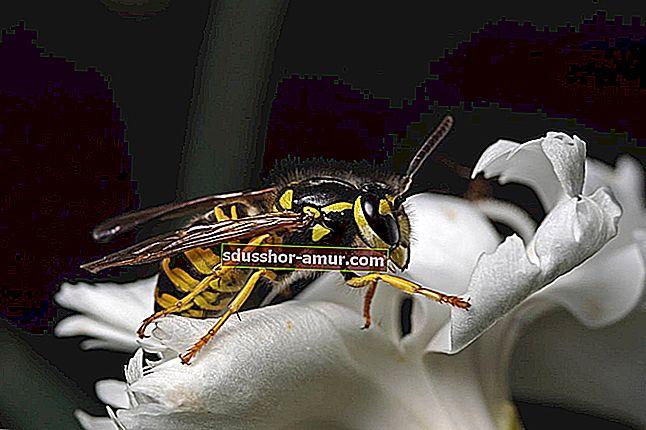 Ubod pčele: 14 najboljih lijekova koje treba znati.