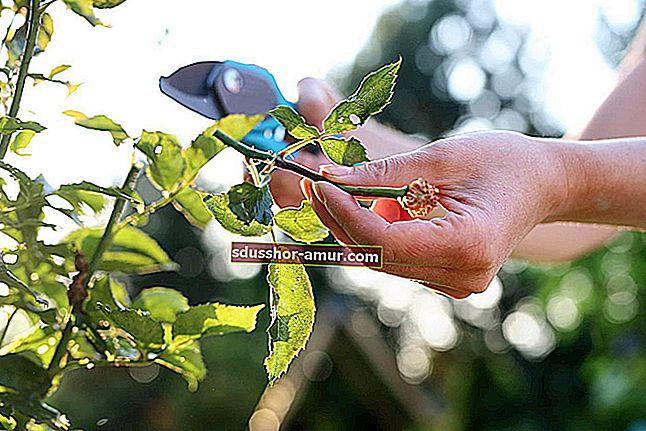 Nema više potrebe za kupnjom češnjaka! Evo kako kod kuće uzgajati beskonačnu zalihu.