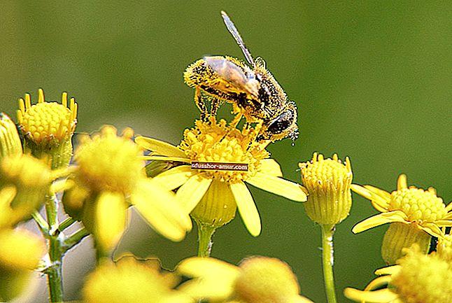 Pčelinji pelud: 10 nevjerojatnih zdravstvenih blagodati.